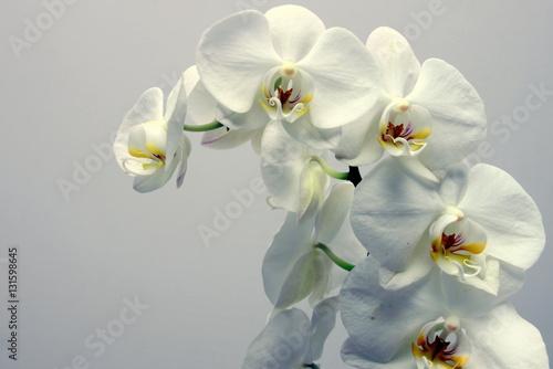 Naklejka premium storczyk (orchidea)