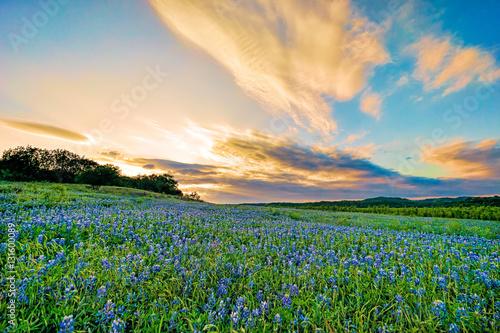 Foto op Plexiglas Weide, Moeras Field of Bluebonnets at Sunset