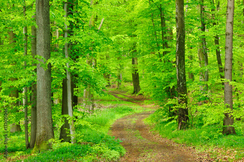 Winding Dirt Road through Natural Forest of Beech Trees in Early Spring, Fresh Green Leaves