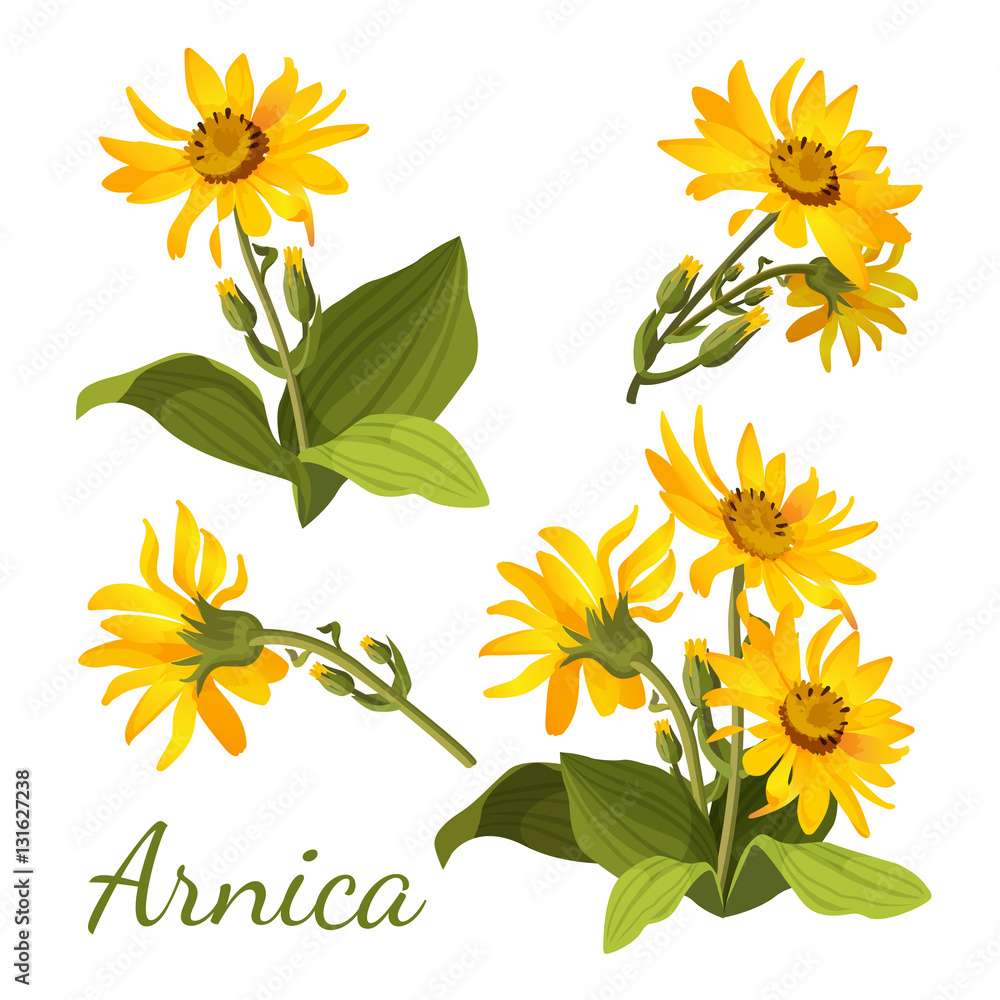 Fototapeta Arnica floral composition. Set of flowers with leaves, buds and branches.