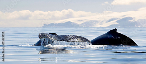 Valokuva  Beautiful view of icebergs and whale in Antarctica