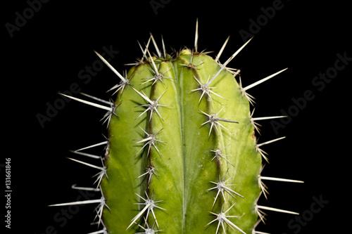Papiers peints Cactus Close up of Cactus on Black Background