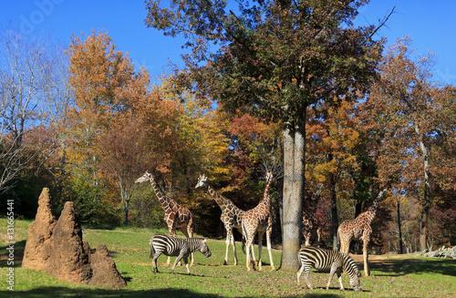 Fotografie, Obraz  Giraffes and Zebras at the Asheboro Zoo in North Carolina