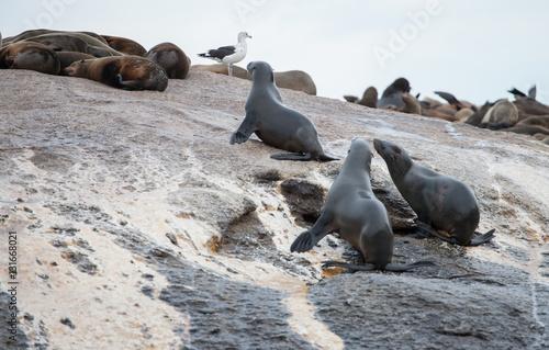 Fotografia  Foki na Wyspie Fok, RPA