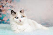 Cute Ragdoll Kitten In Flowery Background