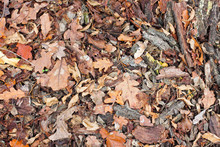 Autumn Dry Brown Oak Leaves And Bark On The Ground. Texture. View From Above