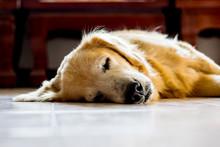 The Golden Retriever Is Sleeping Seem Like Very Happy.