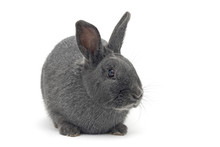 Isolated Image Of A Cute Small Silver Rabbit
