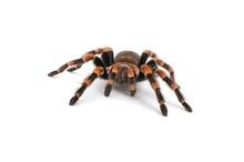 Isolated Image Of A Tarantula