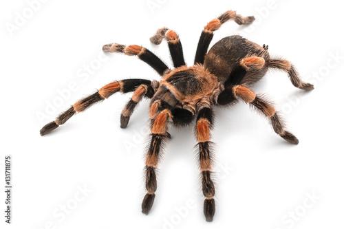 Isolated image of a tarantula Fototapet