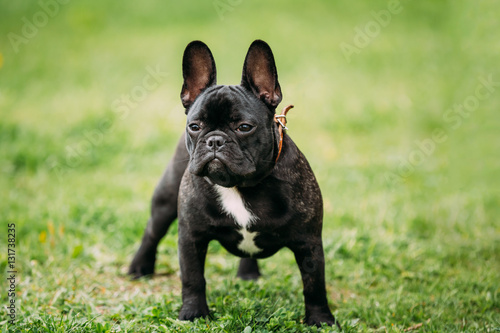 Staande foto Franse bulldog Young Black French Bulldog Dog In Green Grass