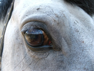 Eyes grey horse reflects the purity of the soul and the horse is an animal photographer