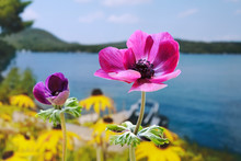 Purple Anemones Overlooking Ga...