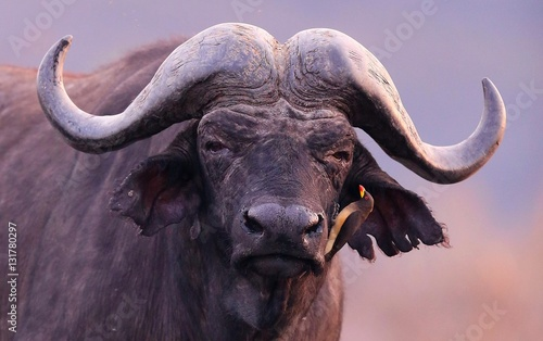 Tuinposter Buffel Buffalo in the dry nature habitat, wild africa, dangereous animal, african big five, this is africa, Masai Mara in Kenya