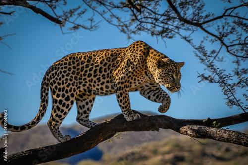 Poster Leopard Leopard in tree
