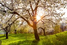 View Of Cherry Tree In Vorarlb...