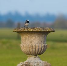Pied Wagtail On A Stone Birdbath