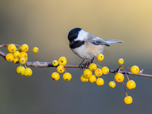 Black-Capped Chickadee On A Branch With Yellow Berries In Fall