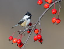 Black-Capped Chickadee On A Branch With Red Berries In Fall