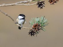 Black-Capped Chickadee On A Pine Tree Branch With Cones In Fall