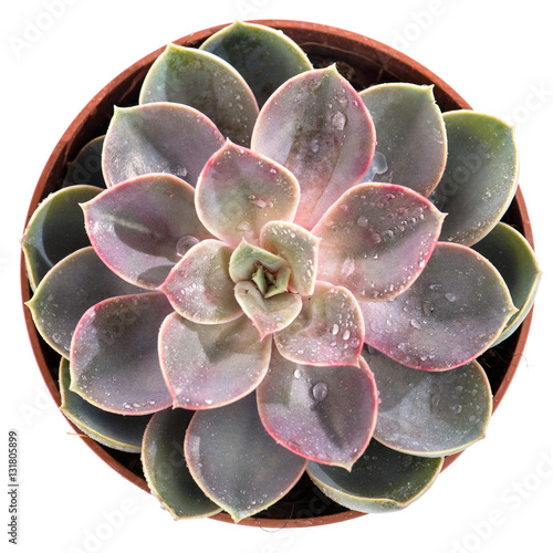 Foto op Canvas Cactus Echeveria in pot isolated on white
