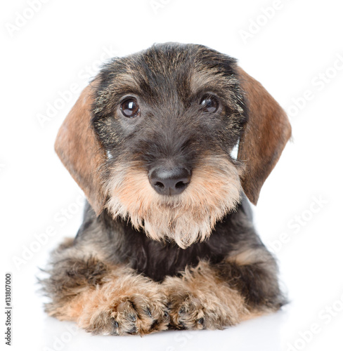 Standard wirehaired dachshund puppy lying in front view  isolated on