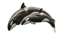 A Killer Whale Mother, Orcinus...