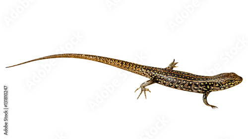 Photo  Brown and yellow Eastern Water Skink,Eulamprus quoyii, isolated on white background