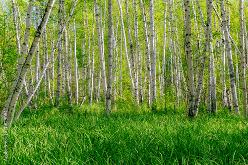 Beautiful summer landscape with forest and green grass. Birch forest. Birch Grove. White birch trunks. Spring sunny forest.