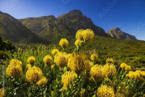 Poster Afrique du Sud South Africa. Cape Town. Kirstenbosch National Botanical Garden - Pincushion Protea (Leucocpermum cordifolium 'Yellow Bird'). Table Mountain slopes in the background. Selective focus on first plan