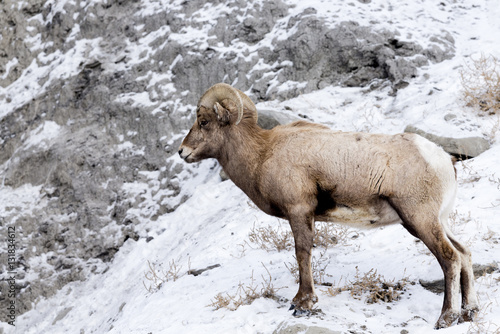 Cadres-photo bureau Sheep Bighorn Sheep in Winter Snow