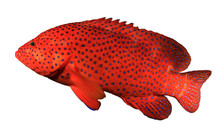 Red Coral Grouper Fish Isolate...