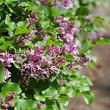 Flieder - small purple lilac flower