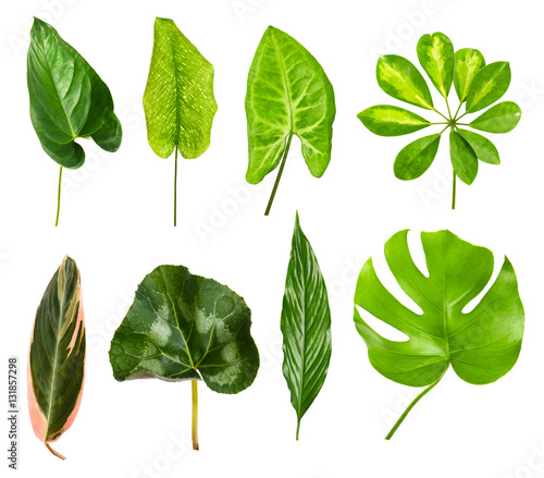 Fototapety, obrazy: Set of different houseplants leaves on white background