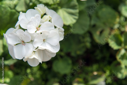 white geranium flowers
