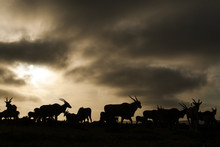 Eland Herd At Dusk Under Stormy Clouds, South Africa
