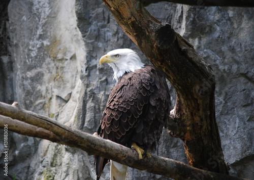 Photo  Stunning Eagle on a Rotten Tree