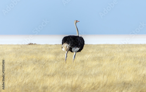 Stickers pour portes Autruche Ostrich in Etosha National Park - Namibia, South-West Africa