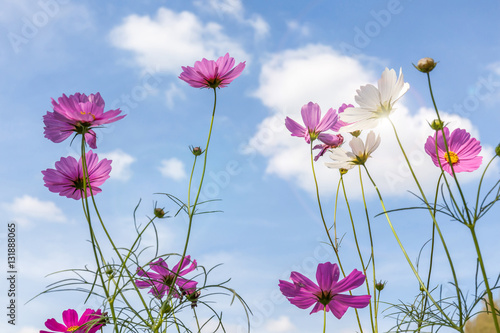 Foto op Aluminium Lente Beautiful pink cosmos flowers with blurred blue sky background.