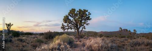 Fototapeta Sunset panorama of a large Joshua Tree  obraz na płótnie