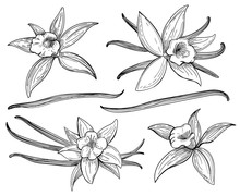 Vanilla Pods Or Sticks Hand Drawing Sketches Isolated On White Background. Vanillas Doodle Spicy Herbs Vector Illustration