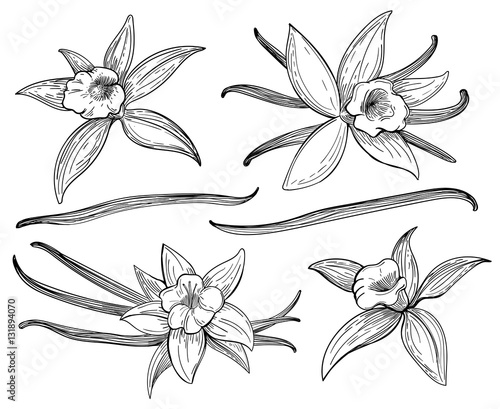 Fotografía Vanilla pods or sticks hand drawing sketches isolated on white background