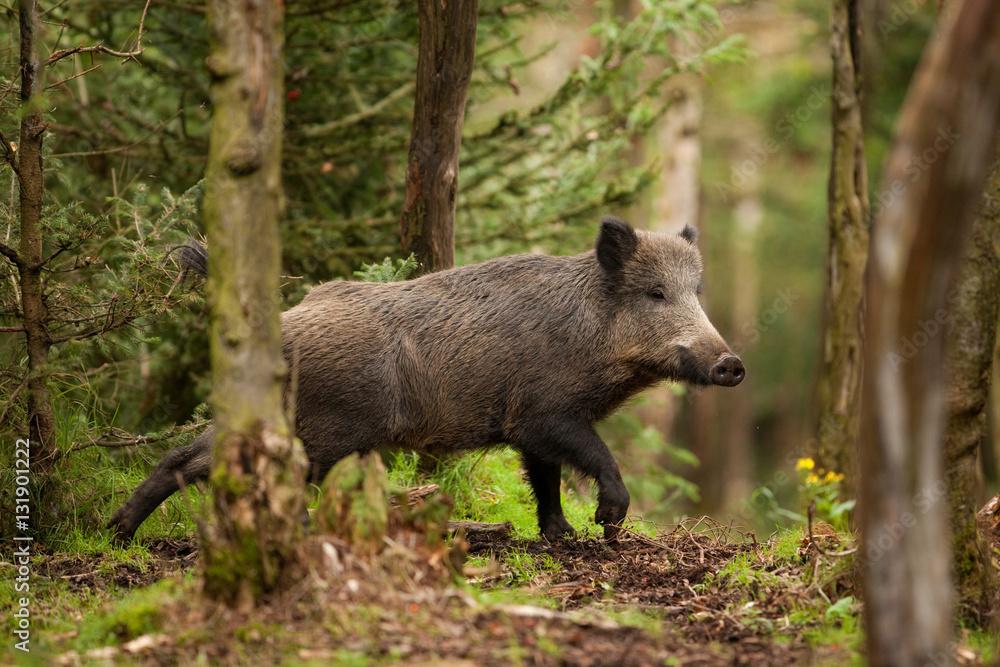 Fototapeta wild boar, sus scrofa, czech republic