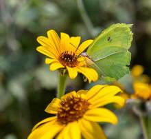 Cloudless Sulphur Butterfly Fe...
