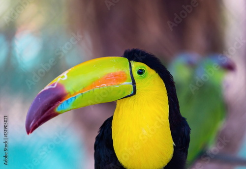 The Keel Billed Toucan Also Known As Sulfur Breasted Or Rainbow Billed Toucan Is A Colorful Latin American Member Of The Bird Family It Is One Of The Most Colorful Birds In The World