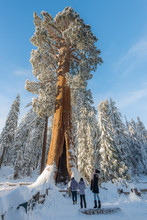 Giant Sequoia Trees In The For...