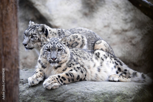 subadult snow leopard Uncia uncia, are threatened with extinction