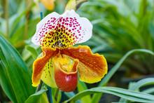 Orchids,Paphiopedilum, Beautif...