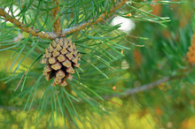 Pine Cone At Pine Tree Branch