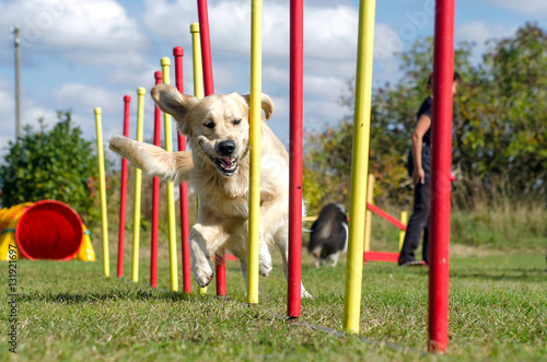 Fotografía  Dog agility slalom, sports competitions of dogs in the summer in